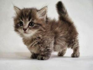 Sabia que Munchkin é o nome de uma raça de gato?